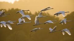 A wedge of Hoopers (Chris Bainbridge1) Tags: cygnus swan swans in flight icelandic visitor sunrise rspb titchwell backlit hooper