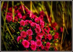Chrysanthemums bring joy - don't you agree? (Bombatron) Tags: chrysanthemum explore flickr canon sunny morning dew magenta green full bloom pampas grass foliage 6d voigtlander 40mm ultron