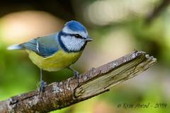 27102019-sDSC_8478 (Eyas Awad) Tags: eyasawad bird birds birdwatching wildlife nature nikon cinciarella cyanistescaeruleus