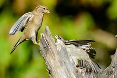 27102019-sDSC_2944 (Eyas Awad) Tags: eyasawad bird birds birdwatching wildlife nature nikon passeraditalia passerdomesticus