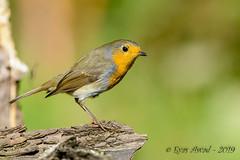 27102019-sDSC_2931 (Eyas Awad) Tags: eyasawad bird birds birdwatching wildlife nature nikon pettirosso erithacusrubecula