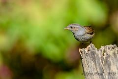 27102019-sDSC_2941 (Eyas Awad) Tags: eyasawad bird birds birdwatching wildlife nature nikon passerascopaiola prunellamodularis