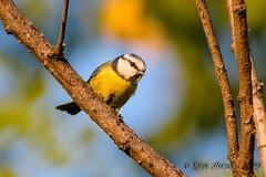 26102019-sDSC_8382 (Eyas Awad) Tags: eyasawad bird birds birdwatching wildlife nature nikon cinciarella cyanistescaeruleus