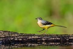 26102019-sDSC_8351 (Eyas Awad) Tags: eyasawad bird birds birdwatching wildlife nature nikon ballerinagialla motacillacinerea