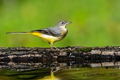 26102019-sD40_8486 (Eyas Awad) Tags: eyasawad bird birds birdwatching wildlife nature nikon ballerinagialla motacillacinerea