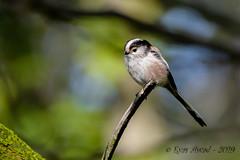 22102019-sDSC_8200 (Eyas Awad) Tags: eyasawad bird birds birdwatching wildlife nature nikon codibugnolo aegithaloscaudatus