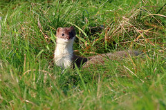 Stoat with its prey (robin denton) Tags: stoat studleyroyal northyorkshire mustelidae animal nationaltrust nature wildlife prey mustelaerminea
