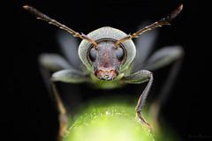Mecometopus globicollis ♂ (Bruno Garcia Alvares) Tags: brunogarciaalvares macro macrofotografia macrophotography extrememacrophotography empilhamentodefoco empilhamentodefocoemcampo fieldstacking pilhadefoco insetos insect insetosbrasileiros insetosdobrasil insetosdaamazônia amazoninsects amazinginsect face eyes beetle beetles besouros besourosdaamazônia coleoptera coleoptero mecometopusglobicollis male canon canon80d 430exii diydiffuser mpe65mm lens black background grey nature natureza natures nice contrast bokeh