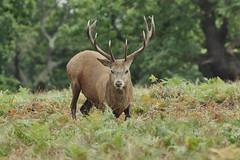 Male Red Stag Deer - Cervus elophus (Phasmomantis) Tags: bbc springwatch mammel male red stag deer cervus elophus pentax kmount autumn