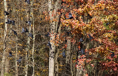 Where The Crows Fly (Diane Marshman) Tags: crow crows large black bird inflight flight flying motion action movement fall autumn season foliage trees leaves colors pa pennsylvania nature wildlife