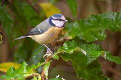 Blue Tit (Gareth Keevil) Tags: bird birds bluetit garden gardenbird garethkeevil leeds nikon nikon500mmpf nikond500 october soggy telephoto tit uk wet wild yorkshire