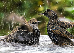 Romantic Bath _A993632 (mbisgrove) Tags: a99m2 bird bath feathers feather wings water splash starling