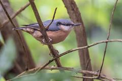Nuthatch (Gareth Keevil) Tags: bird birds garden gardenbird garethkeevil leeds nikon nikon500mmpf nikond500 nuthatch october piratebird soggy telephoto uk wet wild yorkshire