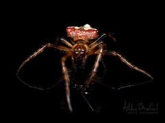 Sombrero (zxgirl) Tags: 60mmomzd alexandria arachnida arkendale arthropods em5ii onblack va animals autumn macro nature orbweaver spiders virginia unitedstatesofamerica bug bugs animal animalia arthropod arthropoda chelicerate chelicerates chelicerata arachnid arachnids spider araneae araneomorphae entelegynes orbweavers araneidae verrucosa verrucosaarenata arrowheadspider arrowheadorbweaver taxonomy:binomial=verrucosaarenata pa200010 arachtober arachtober19