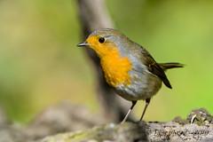 26102019-sD40_8480 (Eyas Awad) Tags: eyasawad bird birds birdwatching wildlife nature nikon pettirosso erithacusrubecula