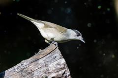 27102019-sDSC_8493 (Eyas Awad) Tags: eyasawad bird birds birdwatching wildlife nature nikon capinera sylviaatricapilla