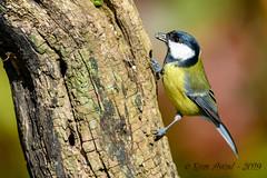 27102019-sDSC_2928 (Eyas Awad) Tags: eyasawad bird birds birdwatching wildlife nature nikon cinciallegra parusmajor