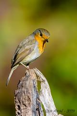27102019-sDSC_2921 (Eyas Awad) Tags: eyasawad bird birds birdwatching wildlife nature nikon pettirosso erithacusrubecula