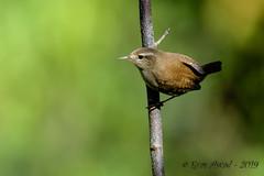 26102019-sDSC_8313 (Eyas Awad) Tags: eyasawad bird birds birdwatching wildlife nature nikon scricciolo troglodytestroglodytes