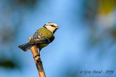 26102019-sDSC_8378 (Eyas Awad) Tags: eyasawad bird birds birdwatching wildlife nature nikon cinciarella cyanistescaeruleus