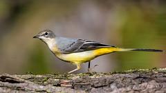 26102019-sDSC_8345 (Eyas Awad) Tags: eyasawad bird birds birdwatching wildlife nature nikon ballerinagialla motacillacinerea
