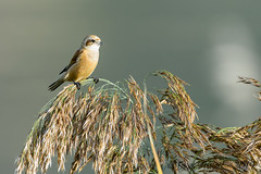 23102019-sD40_8397-3 (Eyas Awad) Tags: eyasawad bird birds birdwatching wildlife nature nikon pendolino remizpendulinus