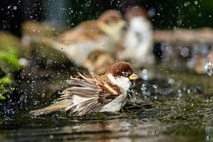 27102019-sDSC_8499 (Eyas Awad) Tags: eyasawad bird birds birdwatching wildlife nature nikon passeraditalia passerdomesticus