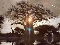TOUCH THE HEAVENS (eliewolfphotography) Tags: giraffe giraffes animals africa african baobob trees tree tanzania tarangire tarangirenationalpark wildlife wildlifephotographer wildlifephotography nature naturelovers nikon naturephotography naturephotographer conservation conservationphotography creative art artwork artistic poem
