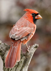 _A993518 (mbisgrove) Tags: red northern bird a99ii a99m2 ontario cardinal portrait sony feathers sal70400g2