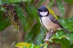 Great Tit (Gareth Keevil) Tags: bird birds garden gardenbird garethkeevil greattittit leeds nikon nikon500mmpf nikond500 october soggy telephoto tit uk wet wild yorkshire