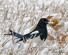 Magpie With Treat (dcstep) Tags: cherrycreekstatepark colorado copyright2019davidcstephens usa snow snowing dxophotolab allrightsreserved blackbilledmagpie magpie leaves dsc2212dxo treat