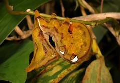 Fruit Piercing Moth Caterpillar (Eudocima phalonia, Calpinae, Erebidae) (John Horstman (itchydogimages, SINOBUG)) Tags: insect macro china yunnan itchydogimages sinobug entomology canon moth lepidoptera caterpillar larva calpinae erebidae brown eyespots tumblr