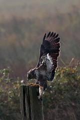 common buzzard (DODO 1959) Tags: wildlife commonbuzzard birds avian fauna raptor birdofprey landing nature animal outdoor canon 100400mmmk2 7dmk2 wales carmarthenshire wwt llanelli
