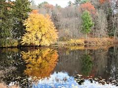 Fall reflection ~ Explored (Jane Lazarz Nature Photography) Tags: walkingnewengland janelazarz massachusetts fallinnewengland nikonp900 nikon massachusettsautumn autumn newenglandcountrysidewestern reflection gold yellow leaves