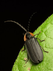 Lucidota atra8783 (treegrow) Tags: rockcreekpark washingtondc nature lifeonearth raynoxdcr250 arthropoda insect beetle coleoptera lucidotaatra lampyridae