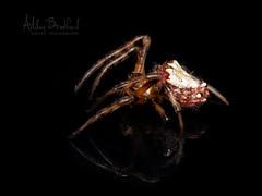 Warty (zxgirl) Tags: 60mmomzd alexandria arachnida arkendale arthropods em5ii onblack va animals autumn macro nature orbweaver spiders virginia unitedstatesofamerica bug bugs animal animalia arthropod arthropoda chelicerate chelicerates chelicerata arachnid arachnids spider araneae araneomorphae entelegynes orbweavers araneidae verrucosa verrucosaarenata arrowheadspider arrowheadorbweaver taxonomy:binomial=verrucosaarenata pa200008 arachtober arachtober19