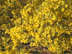 Acacia buxifolia var. buxifolia 1 (mncbirds) Tags: the blue mountains national park nsw australia aushp barry m ralley barrymralley acacia buxifolia var boxleaved wattle