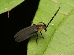 Lucidota atra8782 (treegrow) Tags: rockcreekpark washingtondc nature lifeonearth raynoxdcr250 arthropoda insect beetle coleoptera lucidotaatra lampyridae