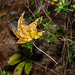 Sweetgum leaf 1 - Mirror Lake NBG