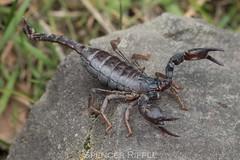 California forest scorpion (Uroctonus mordax) (Spencer Dybdahl Riffle) Tags: california forest scorpion uroctonus mordax humboldt county arthropod chelicerata arachnida
