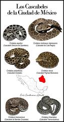 Los Cascabeles de la Ciudad de México (Eric Centenero Alcalá) Tags: crotalusaquilus crotalus molossus nigrescens polystictus ravus transversus triseriatus rattlesnake snakes mexico