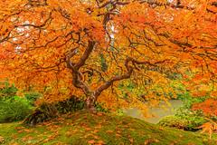 Orange and Green (Maria Echaniz) Tags: japanesegarden japanesemapletree portlandjapanesegarden portland pdx pnw trees tree treelovers nature greenandorange green oregon orange leaves foliage water outdoors