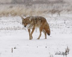 Western Coyote Enjoys Walk In The Snow (dcstep) Tags: cherrycreekstatepark colorado copyright2019davidcstephens usa snow snowing dxophotolab allrightsreserved westerncoyote coyote dsc2080dxo