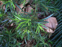 Podocarpus spinulosus 1 (mncbirds) Tags: the blue mountains national park nsw australia aushp barry m ralley barrymralley podocarpus spinulosus spinyleaf podocarp