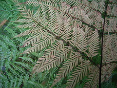 Pteris tremula 4 (mncbirds) Tags: the blue mountains national park nsw australia aushp barry m ralley barrymralley pteris tremula tender brake