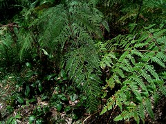 Pteris tremula 1 (mncbirds) Tags: the blue mountains national park nsw australia aushp barry m ralley barrymralley pteris tremula tender brake