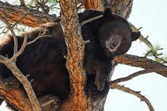 Black Bear[Explored] (Bernie Duhamel) Tags: bernie frontrange duhamel colorado coloradowildlife wildlife sonya9 sonyfe100400mm greatphotographers teamsony rockymountains boulder bouldercounty dakotaridge americanblackbear