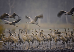 Dawn (Pawel Wietecha) Tags: crane bird animal landscape color colors dawn morning sunrise forest water reflection yellow orange light vivid outside outdoor journey coth5 national fog mist birdsofeurope