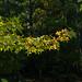 Sweetgum branch 1 - Mirror Lake NBG