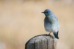 Bluebird[Explored] (Bernie Duhamel) Tags: sonya9 sonyfe100400mm frontrange greatphotographers teamsony rockymountains colorado coloradowildlife wildlife bird bernie duhamel sunshine